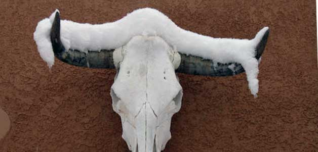 Cow Skull with Snow